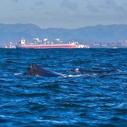 Baleia-jubarte com cidade ao fundo (Paisagem) fotografado em Vitória, Espírito Santo -  Sudeste do Brasil. Oceano Atlântico. Registro feito em 2016.<br /> <br /> ENGLISH: Humpback whale with city in background photographed in Vitória, Espírito Santo - Southeast of Brazil. Atlantic Ocean. Picture made in 2016.