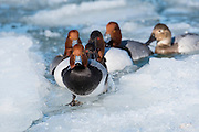 Redheads & Canvasbacks, Aythya americana, valisineria, Detroit River, Ontario, Canada