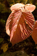 Hobblebush leaves turn colors ranging from orange to purple in the fall