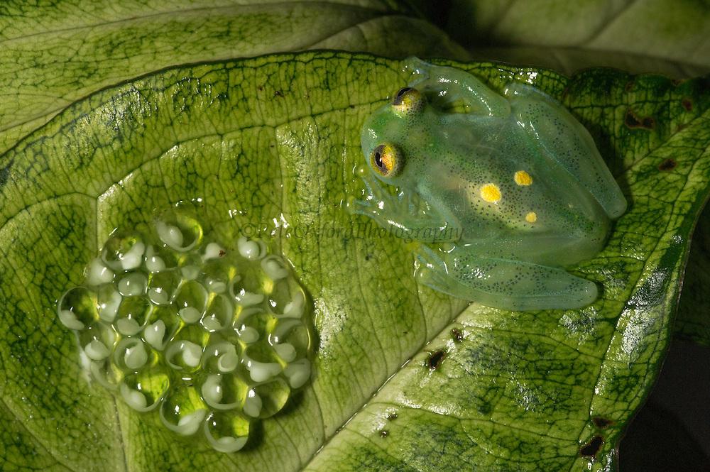 Glass Frog & Eggs  (Hyalinobatrachium aureoguttatum) CAPTIVE<br /> Chocó Region of northwest Ecuador on Colombian Border<br /> ECUADOR. South America<br /> Threatened species due to habitat loss.<br /> RANGE: Northern Ecuador, Colombia north to Panama