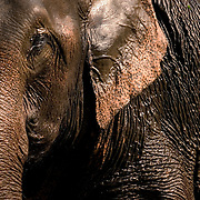"CHIANG MAI, Thailand - FEB 28 2006: Elephants bathe and ""dust"" regularly to protect their sensitive skin from sunburn and infection. Here one exits a river in Northern Thailand before applying mud and dirt as a ""sunscreen."" Asian elephants - strong, social, and intelligent - have been trained for thousands of years for use in transportation, labor, and ritual. In Thailand, Elephants are of immense cultural importance, but their numbers are shockingly plummeting. In 1905, there were over 100,000 elephants in this land - now they are estimated at less than 5,000, of which barely half are in the wild.  (Photo by Logan Mock-Bunting)"