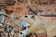 Golden Spiny Mouse, Acomys russatus, Israel