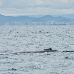 """""""Baleia-jubarte (Megaptera novaeangliae) fotografado em Vitória, capital do estado do Espírito Santo -  Sudeste do Brasil. Oceano Atlântico. Registro feito em 2018.<br /> ⠀<br /> ⠀<br /> <br /> <br /> <br /> <br /> ENGLISH: Humpback Whale photographed in Vitória, capital of the Espírito Santo state - Southeast of Brazil. Atlantic Ocean. Picture made in 2018."""""""