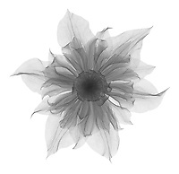 X-ray image of a 'Diamantina' clematis flower (Clematis 'Diamantina', black on white) by Jim Wehtje, specialist in x-ray art and design images.