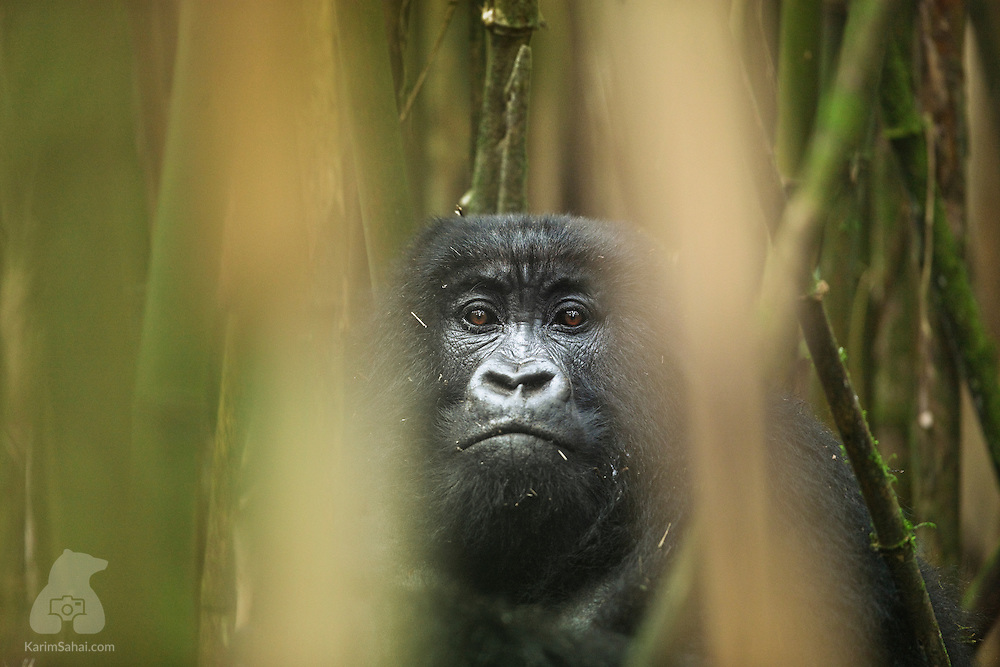 Adult female mountain gorilla in a dense bamboo forest, Volcanoes National Park, Rwanda.