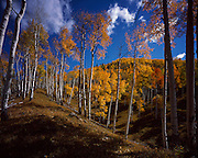 Aspem Grove on Vail Pass, Vail, Colorado