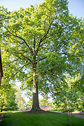 college green, Mapp Athens, summer, Tree Tour, pin oak