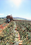 Picking Pineapple, Lanai, Hawaii