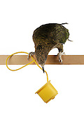 [captive] Kea (Nestor notabilis). The Kea is able to pull up a rope with food attached to it. This requires coordination and interaction of foot and beak. The picture was taken in cooperation with the University of Vienna (UniVie) and University of Veterinary Medicine Vienna (VetMed). Sequence 4/5. | Kea oder Bergpapagei (Nestor notabilis) ist in der Lage, an einem Seil hängende Nahrung zu sich hoch zu ziehen. Dies bedarf der Koordination und Zusammenarbeit von Kralle und Schnabel. Das Bild wurde in Zusammenarbeit mit der Veterinärmedizinischen Universität Wien und der Universität Wien erstellt. Sequenz 4/5.