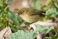 An Iberian chiffchaff pauses from foraging to call out to its companions, Parc de l'Oreneta, Barcelona, Spain.
