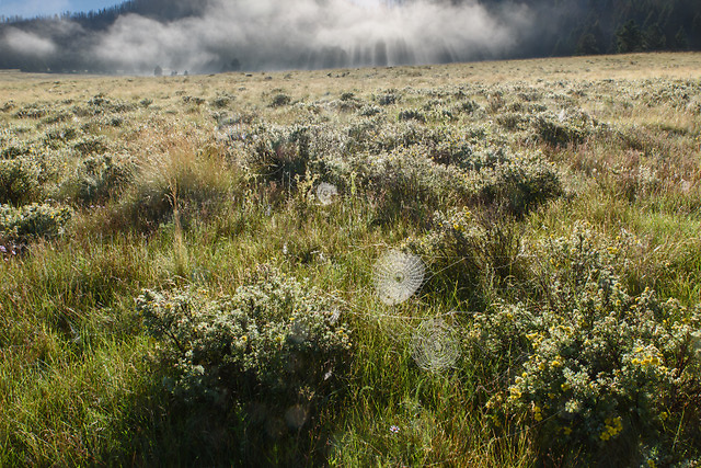 Early morning fog lifts from the Valle Grande, revealing a dew-covered grassland with orb webs strung from shrubby cinquefoil, © 2017 David A. Ponton