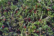 Cranberry Bog at Rockefeller Center
