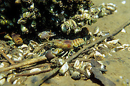 Rusty Crayfish and Zebra Mussels<br />