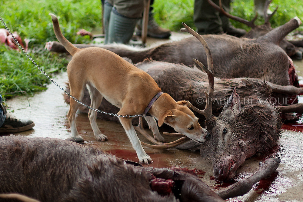 A dog nibbles a dead deer laying on the ground after a hunting session, in Carbajo on January 19 2013, in Caceres Province, Extremadura, Spain. .Caceres has a well preserved natural environment. Plenty of its surface is dedicated to deers and wild boars hunting, making this, an important part of its economy. But most of the land belongs to large landowners. .In Carbajo, people gather three times a year to hunt deers and wild boars. In the past, they used to hunt for eating, but now days, they practice it as an sport and a social event. Then, they sell what the catch as wild game meat.