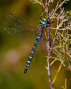 Large Dragonfly (Anax sp.) from Camargue, Provence, France.