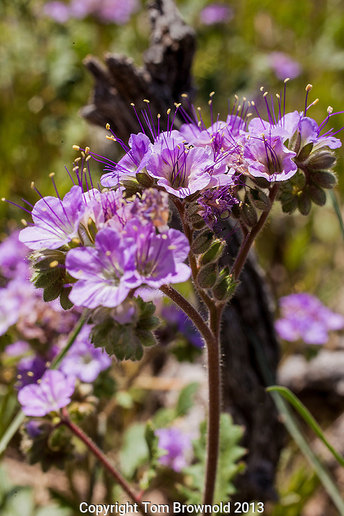 Perennial. May trail along the ground for up to 10'. Sonora Desert