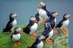 Atlantic puffin, or common puffin, Fratercula arctica, flock, Baccalieu Island Ecological Reserve, Bay de Verde Peninsula, Avalon Peninsula, Newfoundland, Canada, Atlantic Ocean