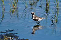 Black-bellied Plover (Pluvialis squatarola) foraging along shoreline, Crescent Beach, Nova Scotia, Canada