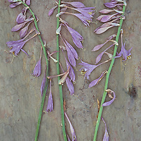 Three dried stems of lilac coloured flowers of Plantain lily or Hosta fortunei Albopicta lying on marbled sla