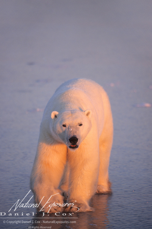 Polar Bear (Ursus maritimus) adult. Churchill, Manitoba, Canada