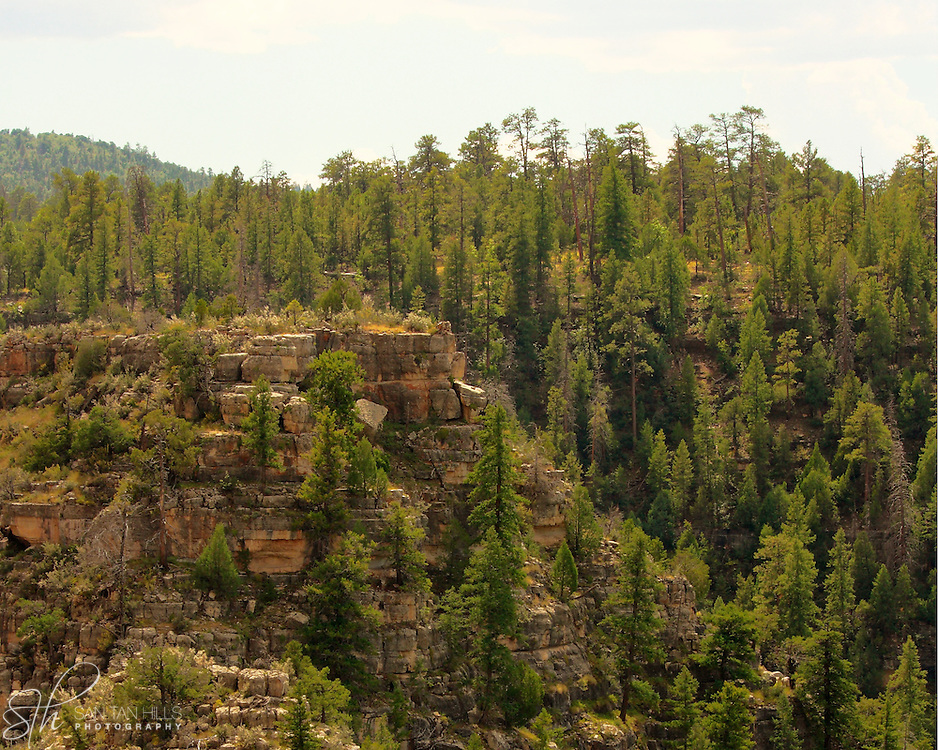 The pine covered rim of Walnut Canyon