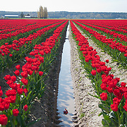 Flowers at the Skagit Tulip Festival in Washington. Crowds come to walk among the bright colored tulips through the month of April; some farms charge $4 for parking, so watch for free fields with less people.  Photo by William Byrne Drumm.