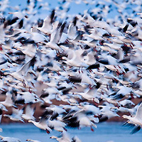 russel country, montana, usa, snowgeese, freezeout lake wildlife area, geese, montana, usa,, russell
