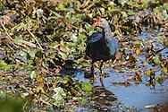 A grey-headed swamphen stalks through a marshy wetland, Tamil Nadu, India.