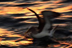 Buller's Albatross (Thalassarche bulleri) at sunrise near Pitt Island south in the Chatham Islands, New Zealand
