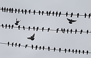 Under cloudy skies, a few pigeons look for a place to land and join their flock on some wires along S. Graham St. near Martin Luther King Jr. Way S. in Seattle. (Ellen M. Banner / The Seattle Times)