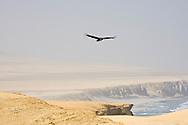 Gallinazo sobrevolando la Playa La Catedral, Reserva Nacional de Paracas, Perú