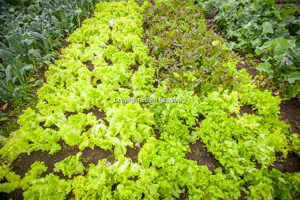 Lettuce growing on a small farm in Alaska