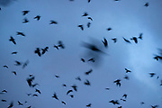 Thousands of American crows (Corvus brachyrhynchos) in a large flock, known as a murder, fill the sky over Bothell, Washington, at dusk. An estimated 16,000 crows roost in a small area there each night.