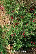 63821-15605 Autumn Sage (Salvia greggii)   Marion Co. IL