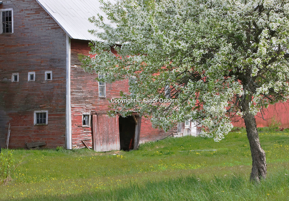 Crabapple and old barn