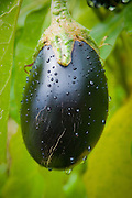 Eggplant grows in the garden of Tim Lanfri, Master Gardener, Washington  County