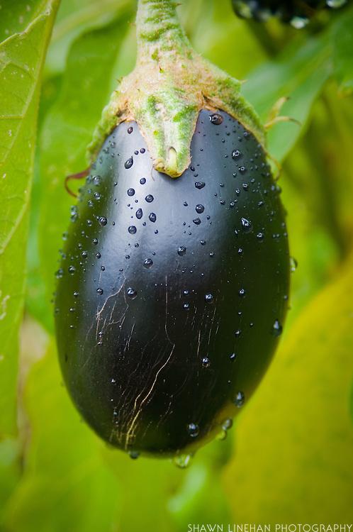 Eggplant grows in the garden of Tim Lanfri, Master Gardener, Washington  County