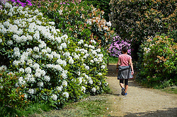 © Licensed to London News Pictures. 24/05/2020. IVER, UK.  A visitor walks by the variety of rhododendrons flowering during warm weather in the Temple Gardens of Langley Park, now open to the public again as the UK government has slightly relaxed coronavirus pandemic lockdown restrictrions.  A former royal hunting ground, Langley Park has links to King Henry VIII, Queen Elizabeth I and Queen Victoria.  Each year, the masses of flowers bloom from March to June.  Photo credit: Stephen Chung/LNP