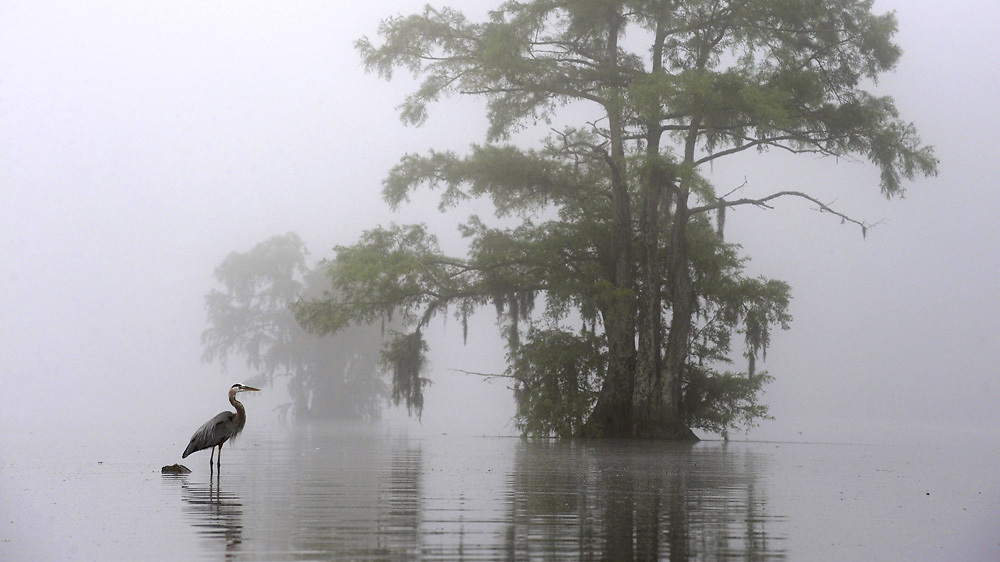 A Great Blue Heron stands in the waters of Lake Chicot, surrounded by early morning fog at Chicot State Park.