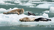 Harbor seals (Phoca vitulina) live amid ice flows calved from South Sawyer Glacier. Cruise to Tracy Arm Fjord and South Sawyer Glacier from Juneau, Alaska, USA. As the most widely distributed species of pinniped, harbor seals are found in coastal waters of the northern Atlantic and Pacific Oceans and the Baltic and North Seas. Harbor seals are brown, silvery white, tan, or gray, with distinctive V-shaped nostrils. We highly recommend the smoothly stabilized day cruise aboard the 56-foot boat Adventure Bound. This journey to the heart of Tracy Arm-Fords Terror Wilderness (Tongass National Forest) rivals Norwegian fjords and adds a punchbowl of icebergs from the spectacular South Sawyer Glacier, which calved ice into the tidewater with a rumble and a splash. Whales, bears, sea lions and other wildlife showed up along the way. The fjord twists narrowly 30 miles into the coastal mountains, with peaks jutting up to a mile high, draped with tumbling waterfalls.