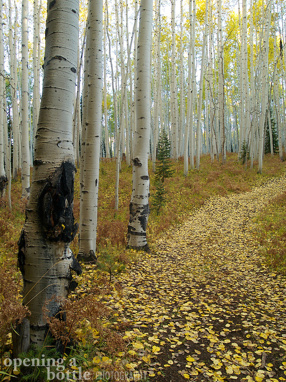 A four-wheel drive road leads off into a dense grove of quaking aspen, near Kebler Pass, Colorado.