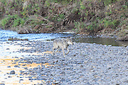 Gray wolf crossing a river in western North America.