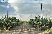Israel, Jordan Valley, Kibbutz Ashdot Yaacov, Banana Plantation under a net. The net reduces evaporation and reduces the quantity of water used for irrigation