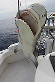 Hugh Tiger shark caught off coast of Miami