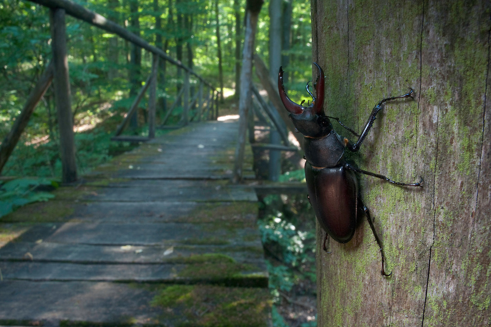Male Stag beetle (Lucanus cervus) in Codri National park