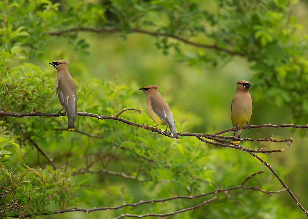 Three Cedar Waxwings (Bombycilla cedrorum) perched on a branch, Wawayanda State Park, Hewitt, Passaic County, New Jersey