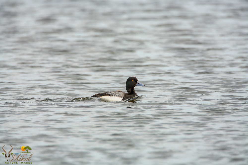 Greater scaup drake swimming