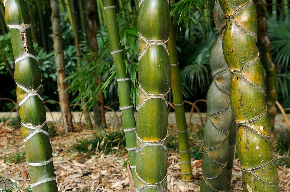 France, Languedoc Roussillon, Gard, Cévennes, Anduze, La Bambouseraie, Bambous à carapace de tortue, phyllostachys pubescens Mazel