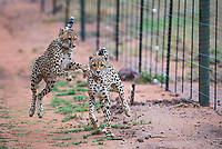 Collared Cheetahs playing alongside a boundary fence, Marataba Private Game Reserve, Limpopo, South Africa