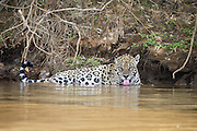 Jaguar<br /> Panthera onca<br /> Drinking<br /> Cuiaba River, Brazil